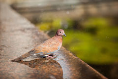 Pigeon. In the park in the wild Stock Photography