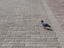Pigeon on pavage Royalty Free Stock Image