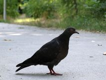 Pigeon on the pavement. Dove broads thoughtfully on the paved path Stock Photos