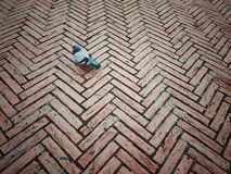 Pigeon on paving stones Stock Image