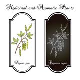 Pigeon pea Cajanus cajan , medicinal plant. Hand drawn botanical vector illustration Stock Photography