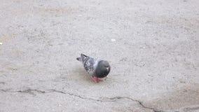 Pigeon pecking bread crumbs. On the asphalt a pigeon walks and pecks bread crumbs stock footage