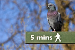 Pigeon on a Pedestrian Signpost in London Royalty Free Stock Photos