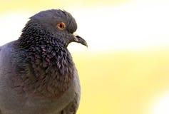 Pigeon image stock