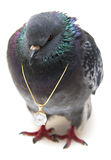 Pigeon with pendant on chain Royalty Free Stock Images