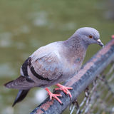 Pigeon perch on a  Rack Stock Image