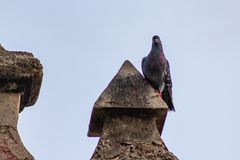 Pigeon perched on a Chapel at Pigeon Park royalty free stock photography
