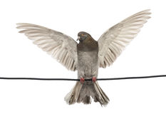 Pigeon perched on an electric wire with its wings spread Stock Photos
