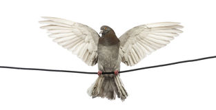 Pigeon perched on an electric wire with its wings spread Royalty Free Stock Photo