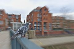 Pigeon perched on a handrail with red brick buildings in the background radial motion blur. Pigeon perched on a handrail with large red brick buildings in the Royalty Free Stock Photos
