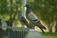 Pigeon. Perched on a metal fence Royalty Free Stock Image