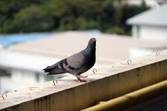 Pigeon perching on the balcony. The bird and shiny green mane standing. stock image
