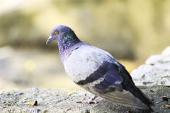 Pigeon. In phisanulok near the river, Thailand Royalty Free Stock Image