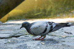 Pigeon. Photo of a Pigeon with selective focus and sunlight Stock Image