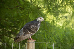 Pigeon. Photo of a Pigeon with selective focus and sunlight Royalty Free Stock Photo