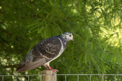 Pigeon. Photo of a Pigeon with selective focus and sunlight Stock Photography