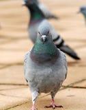 Pigeon Stock Photography