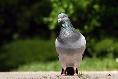 Pigeon. Picture of nice fancy pigeon Royalty Free Stock Photo