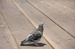 Pigeon on pier. Pigeon standing on a pier. It's a sunny day Royalty Free Stock Photography