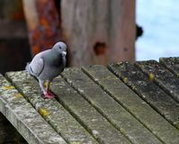Pigeon on the Pier Royalty Free Stock Image