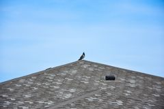 Pigeon. pigeon on the roof building. stock photo