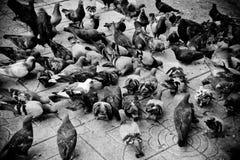 Pigeon. S bird animal Stock Photos