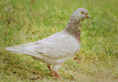 Pigeon. S and doves constitute the bird family Columbidae that includes about 310 species Royalty Free Stock Image