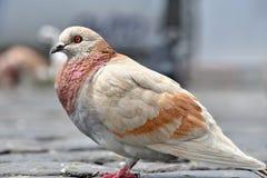 Pigeon. S in the Quito`s square,Ecuador stock images