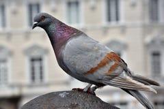 Pigeon. S in the Quito`s square,Ecuador stock photos