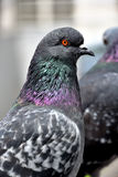 Pigeon. S in the Quito`s square,Ecuador royalty free stock photos