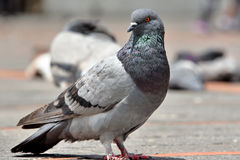 Pigeon. S in the Quito`s square,Ecuador royalty free stock images