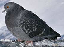 The pigeon. Royalty Free Stock Image