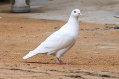 Pigeon. S, a very common bird, widely breeded around the world, s are s dove s hundreds of species of birds collectively. We usually say that the s are only one Stock Images