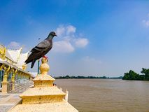Pigeon on a pillar at the River side. royalty free stock photography