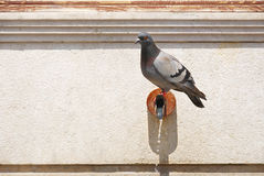 Pigeon on pipe Stock Image