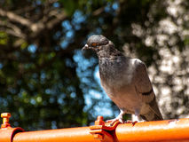 Pigeon on the pipe of a square Stock Image
