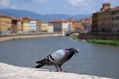 Pigeon in Pisa Stock Image