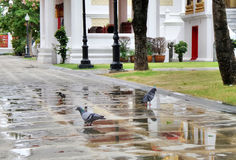 Pigeon playing water in foot path in temple garden Stock Photos