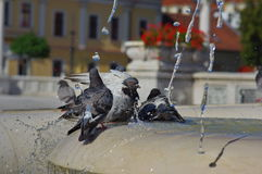 Pigeon playing water in the fountain 3 Royalty Free Stock Photography