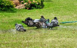 Pigeon playing water on green grass lawn in hot summer noon day. Pigeon enjoying  water on green grass lawn in hot summer noon day Stock Photo