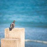 A pigeon on the pole Royalty Free Stock Photo