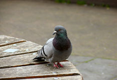 Pigeon portrait royalty free stock photo