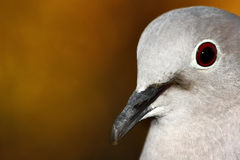 Pigeon portrait Royalty Free Stock Images
