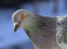 Pigeon portrait Stock Photos