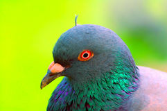 Pigeon Portrait. Close up of a colorful pigeon Stock Photography