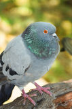 Pigeon portrait Royalty Free Stock Image
