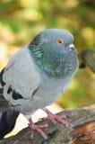 Pigeon portrait Royalty Free Stock Image