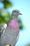 Pigeon portrait Stock Image