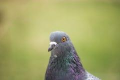 Pigeon portrait, close up. Cute pigeon, colorful summer landscape Stock Photos