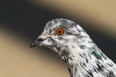 Pigeon Portrait Stock Photography